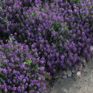 Alyssum Oriental Nights Appx 10 grams - 100 grams